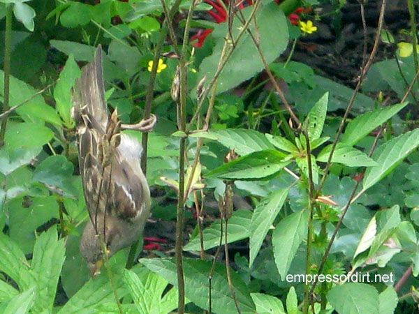 Sparrow eating flower seeds