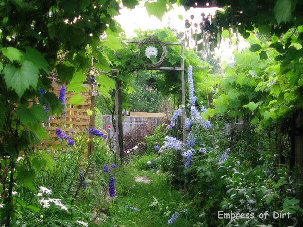 Delphiniums growing in a shady side garden