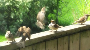 Sparrows playing on the fence