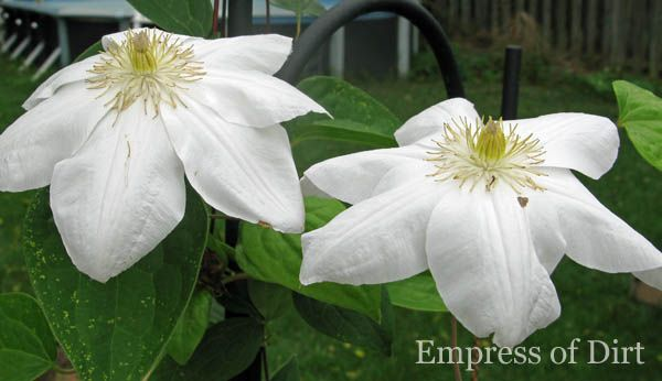 Clematis 101: Easy Care Guide