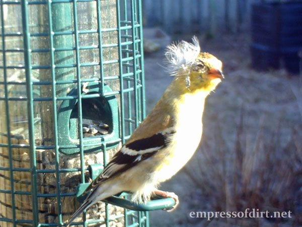 Birdcam Goldfinch with feather on head