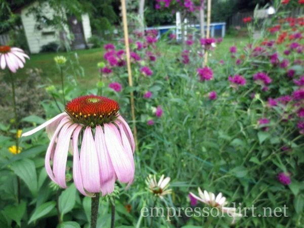 coneflower - home garden tour