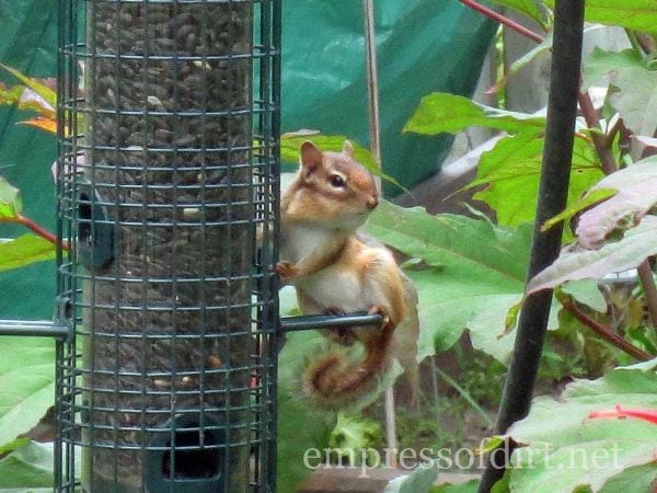 chipmunk stealing bird seed - home garden tour