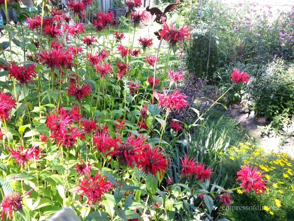 Red Bee Balm - Empress of Dirt Garden Tour