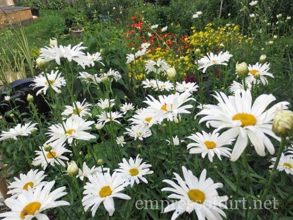 crazy for daisies - home garden tour