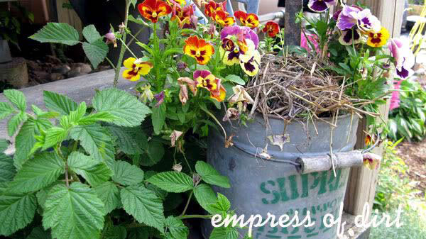 30 Garden container ideas | Pansies on a galvanized bucket