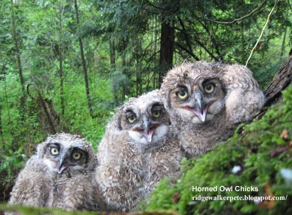 Horned Owl Chicks