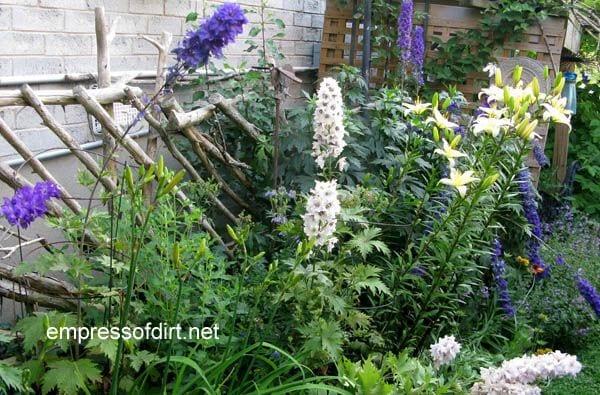 Dark blue and white delphiniums at www.empressofdirt.net