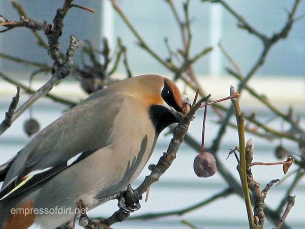 Bohemiam Waxwing in the winter garden