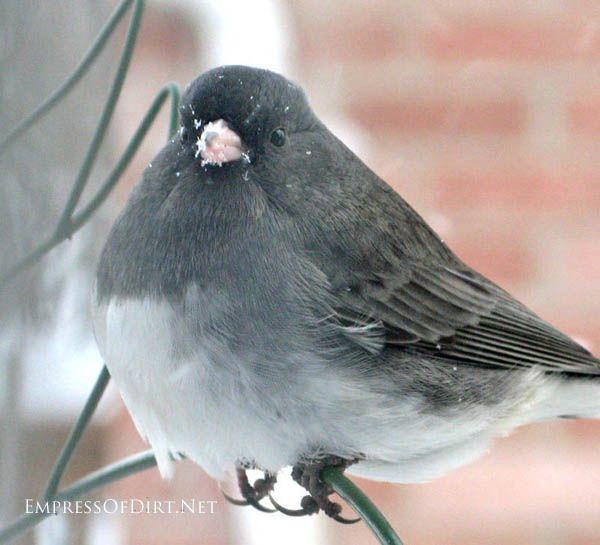 Junco bird in the winter garden