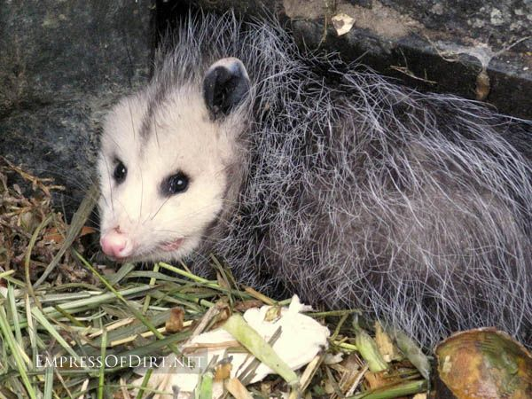 Possum sleeping the composter in the winter garden