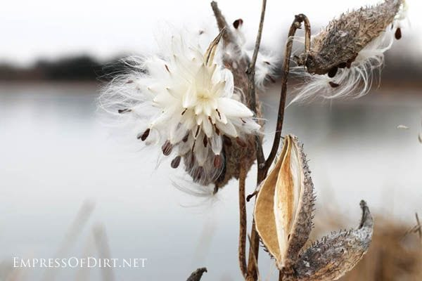 Milkweed pods in the winter garden