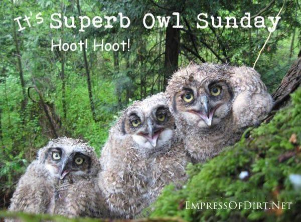 It's Superb Owl Sunday!