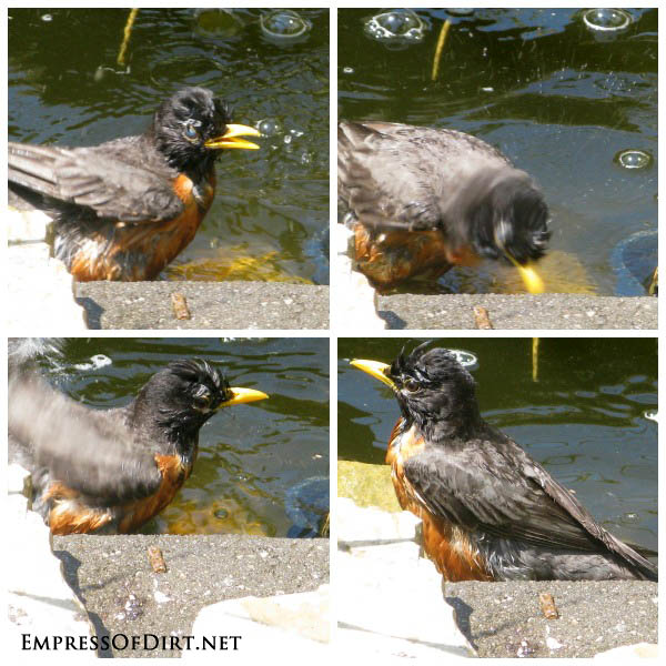 Bird bath safety: robin enjoys a garden pond bath
