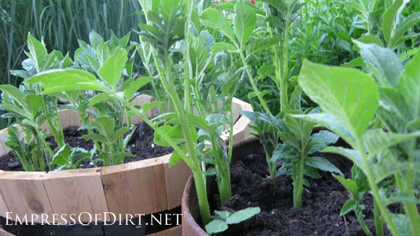 20+ Ideas for your home veggie garden - grow potatoes in whiskey barrels