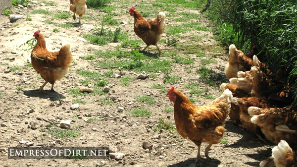 Chickens provide fertilizer for gardens - see 20+ home veggie garden ideas